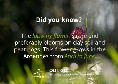 lapwing-flower